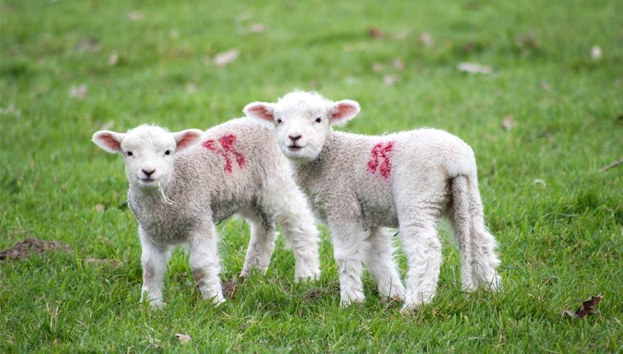 Mindful image of sheep watching